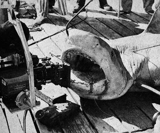 Tiger Shark, production still from Jaws, 1974