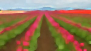 tulip fields / credit: em