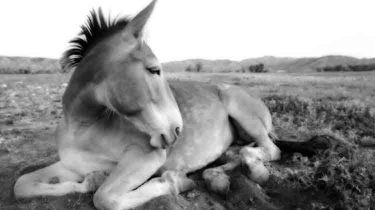 mule by Greg Westfall