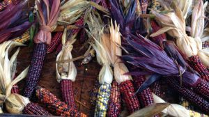 Gordon Skagit Indian Corn - image: D. Enck
