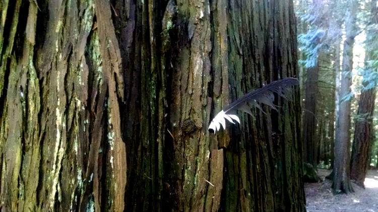 An eagle feather, fallen to lodge in a cedar tree. / image: d. enck