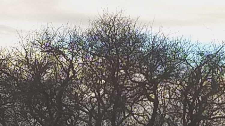 semiahmoo tree