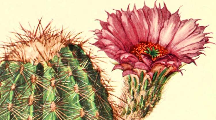 Addisonia / 1902